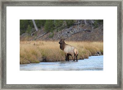 Elk On The Madison Framed Print by Daniel Behm