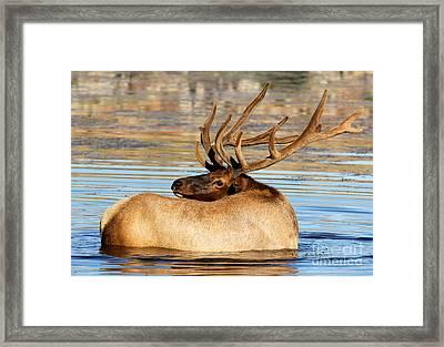 Elk Velveteen  Framed Print