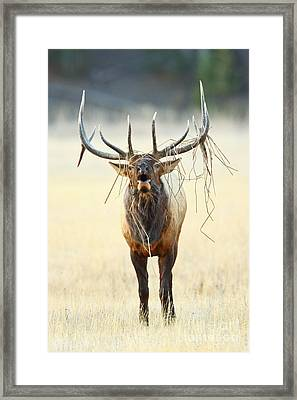 Elk With A Headdress Framed Print