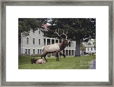 Elk With Harem Framed Print by Gregory G. Dimijian, M.D.