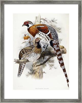 Elliot's Pheasant Framed Print by Joseph Wolf