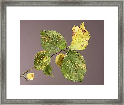 Elm Gall Framed Print by Sheila Terry