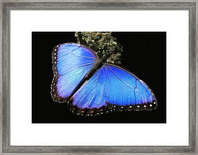 Elusive Blue Framed Print by Rosalie Scanlon