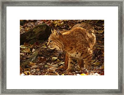 Elusive Bobcat On An Autumn Prowl In  Framed Print by Inspired Nature Photography Fine Art Photography