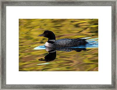Elusive Loon Framed Print