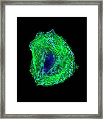 Embryonic Smooth Muscle Cell Framed Print by Vira V. Artym, Lcdb/nidcr/national Institutes Of Health