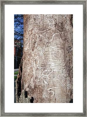 Emerald Ash Borer Tracks On Dead Tree Framed Print by Jim West