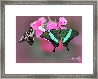 Emerald Swallowtail Butterflies Framed Print