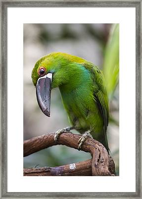 Emerald Toucanet Framed Print by Phil Abrams