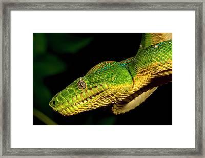 Emerald Tree Boa, Corallus Caninus Framed Print