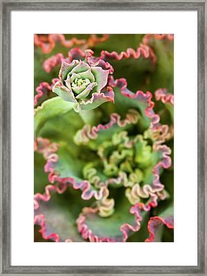 Emerging Bud Of An Echeveria Plant Framed Print by Michael Qualls