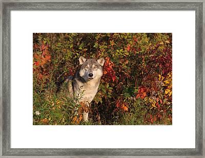 Emerging Wolf Framed Print