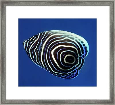 Emperor Angelfish Framed Print by Nigel Downer