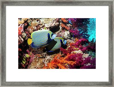 Emperor Angelfish On A Reef Framed Print