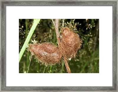Emperor Moth Cocoons Framed Print by Bob Gibbons