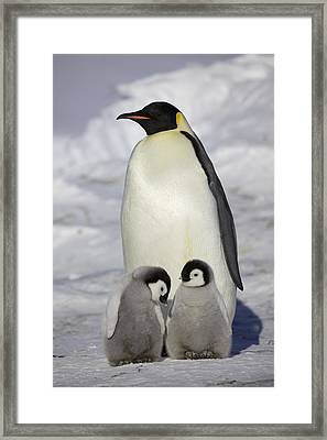 Emperor Penguin And Two Chicks Framed Print