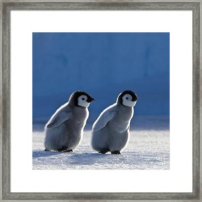 Emperor Penguin Chicks Framed Print by Jean-Louis Klein and Marie-Luce Hubert
