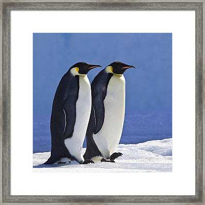 Emperor Penguin Couple Framed Print by Jean-Louis Klein and Marie-Luce Hubert