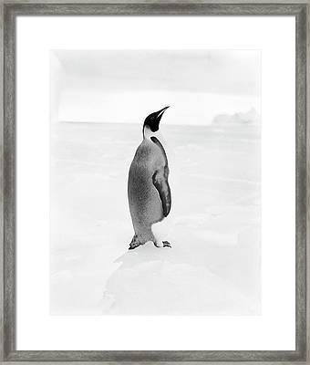 Emperor Penguin In Antarctica Framed Print