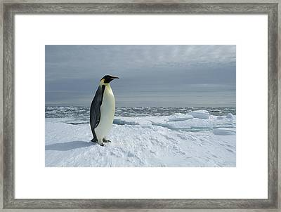 Emperor Penguin On Fast Ice Edge Framed Print