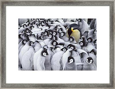 Emperor Penguin Parent With Chicks Framed Print by Frans Lanting MINT Images