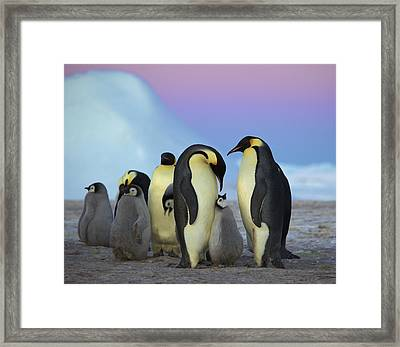 Emperor Penguin Parents And Chick Framed Print