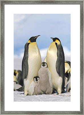 Emperor Penguin Parents With Chicks Framed Print