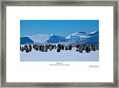 Emperor Penguin Rookery Framed Print by David Barringhaus