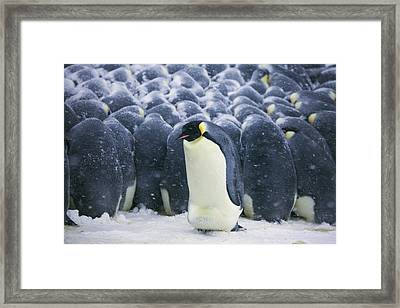 Emperor Penguin Trying To Get Framed Print