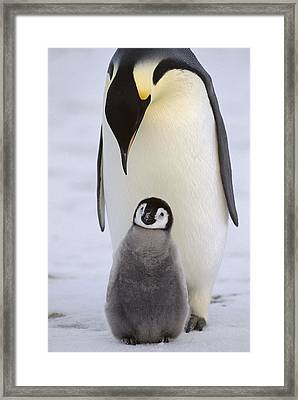 Emperor Penguin With Chick Antarctica Framed Print