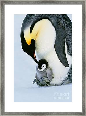 Emperor Penguin With Chick On Feet Framed Print by Frans Lanting/MINT Images