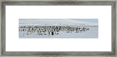 Emperor Penguins Aptenodytes Forsteri Framed Print by Panoramic Images