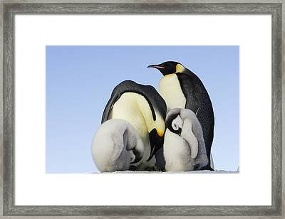Emperor Penguins Sleeping Framed Print