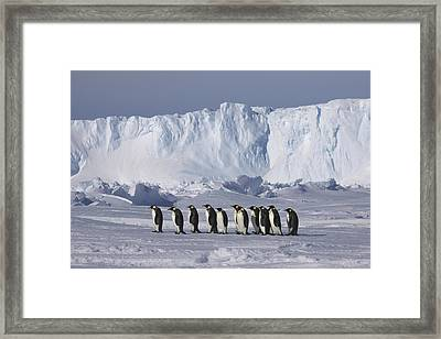 Emperor Penguins Walking Antarctica Framed Print