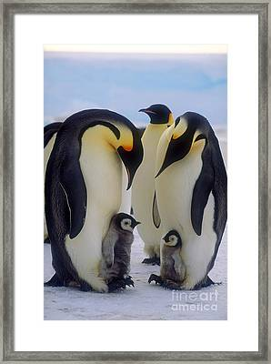 Emperor Penguins With Their Chicks Framed Print by Art Wolfe
