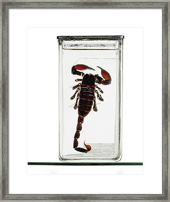 Emperor Scorpion Specimen Framed Print by Ucl, Grant Museum Of Zoology