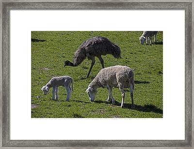 Emu And Sheep Framed Print