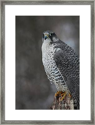 Enchanted By The Rare Gyrfalcon Framed Print by Inspired Nature Photography Fine Art Photography