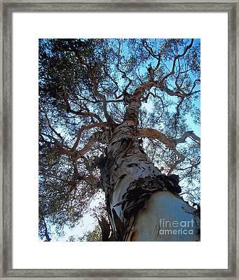Encinitas Eucalyptus Framed Print