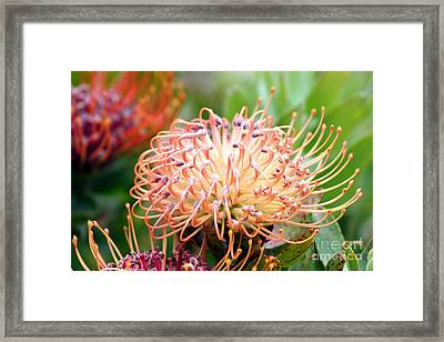 Encompassing Proteas Framed Print by Mary Lou Chmura
