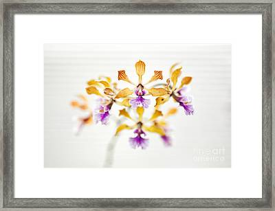 Encyclia Orchid Framed Print by Tim Gainey