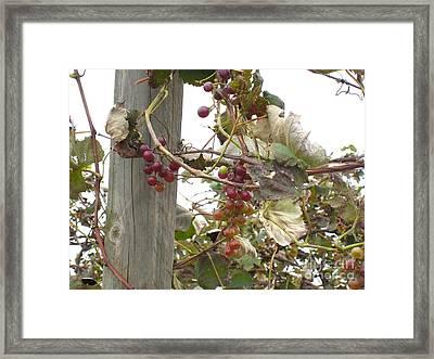 End Of Season Grapes Framed Print by Jennifer E Doll