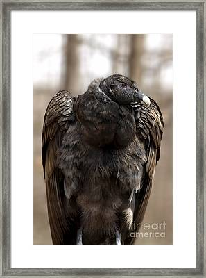 Endangered Andean Condor Framed Print