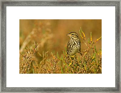 Endangered Beldings Savannah Sparrow - Huntington Beach California Framed Print by Ram Vasudev