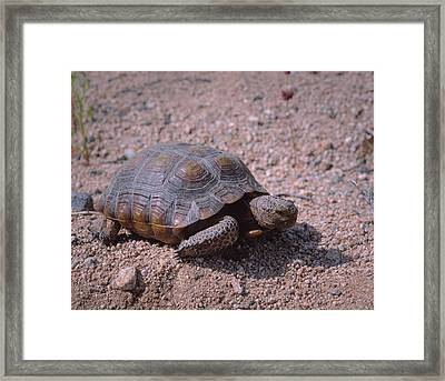 Endangered Desert Tortoise, (gopherus Framed Print by Greg Probst