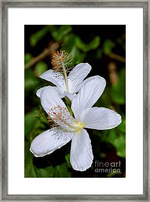 Endangered Koki'o White Hibiscus Framed Print by Aloha Art