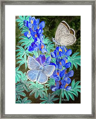 Endangered Mission Blue Butterfly Framed Print