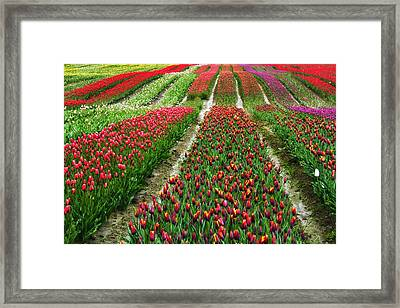 Endless Waves Of Tulips Framed Print