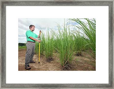 Energy Cane Biofuel Research Framed Print by Peggy Greb/us Department Of Agriculture