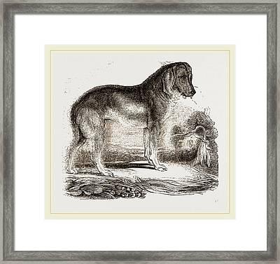 English Blood-hound Framed Print